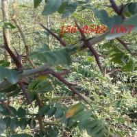供应皂角树5公分-6公分-8公分-10公分皂角-皂角树苗