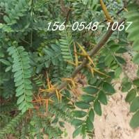 5公分、6公分皂角树成活率高7公分、8公分皂角树